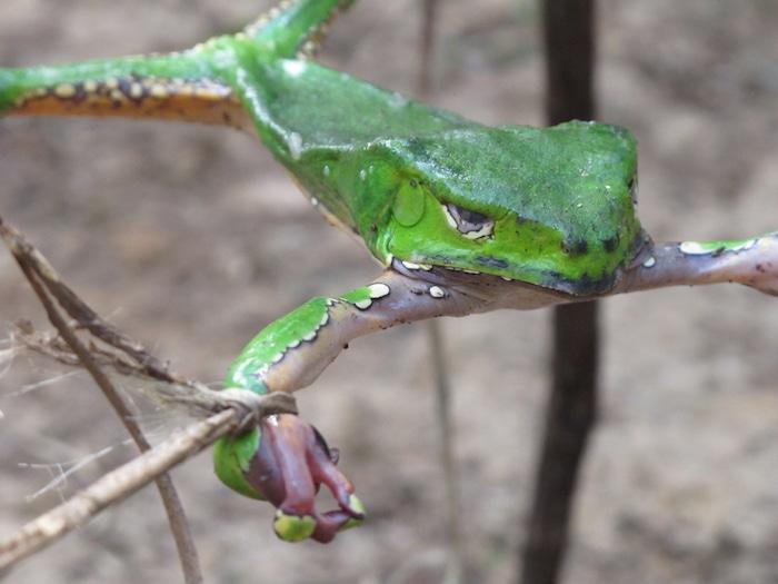 Sapo-frog